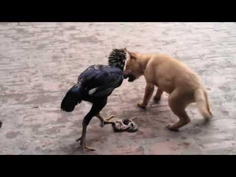 chó vs gà! cực hay!