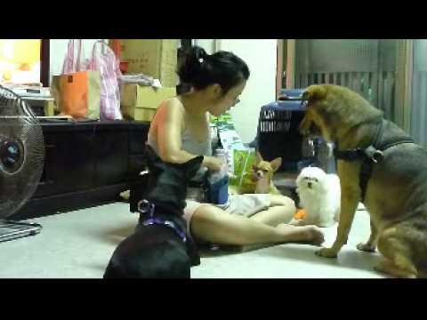 響片和零嘴可以拉近狗與狗之間的距離,也可以讓體型大小不同的狗和平共處。