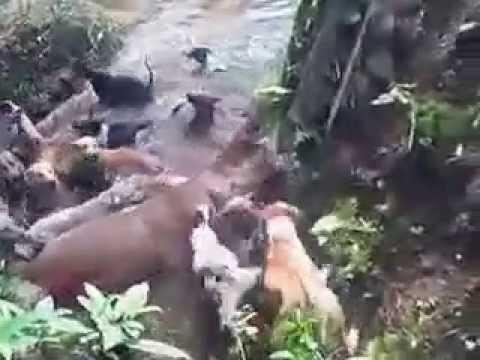 ini raja babi hutan   besarnya luar biasa - perburuan di desa nageri kecamatan juhar kab karo