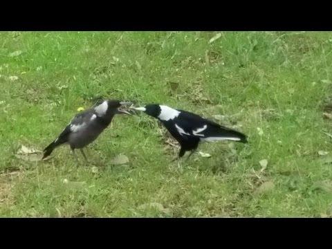 MAGPIE'S AND MASKED LAPWING BIRDS, SYDNEY AUSTRALIA