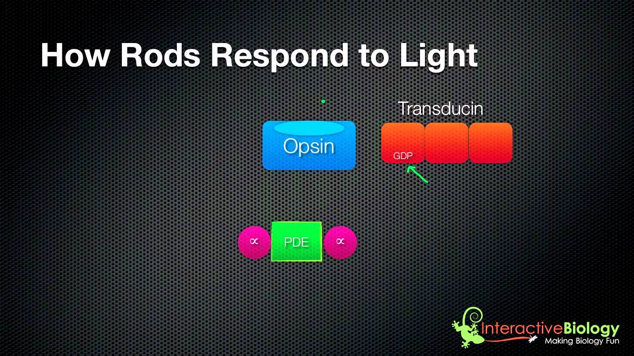 031 how rods and cones respond to light   youtube