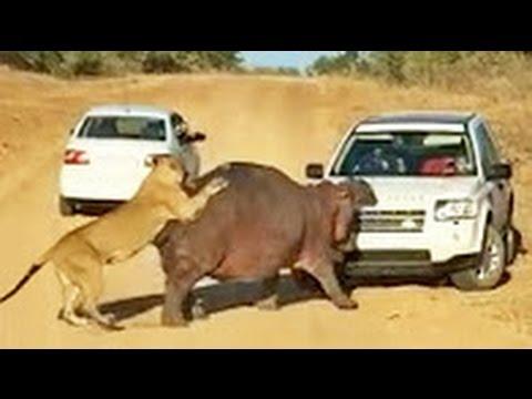 Бегемот атакует машину и на него нападают львы