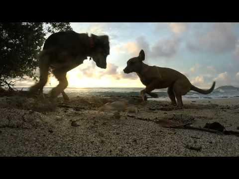 Tamarindo Beach, Costa Rica, Puppies vs Crab!