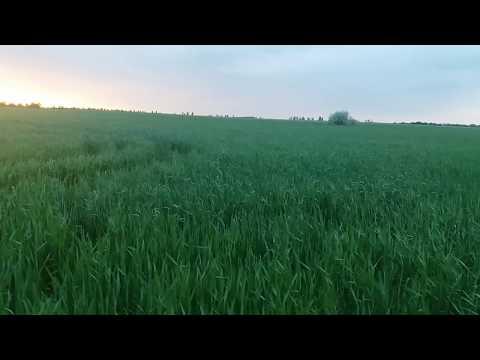 Озимая пшеница, состояние на 13.05.2018. Пару мыслей про удобрения