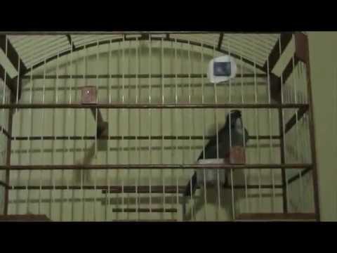 Trinca Ferro Rápido 14 A 19 Cantos No Min. Piu Piu E Abusado Em Casa Brincando!!! video