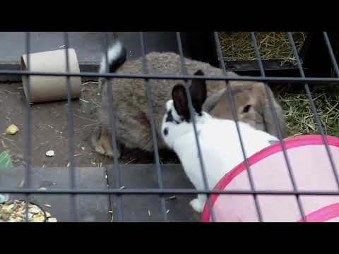 rabbit mating