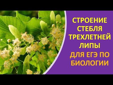 5. Строение стебля трехлетней липы для ЕГЭ по биологии