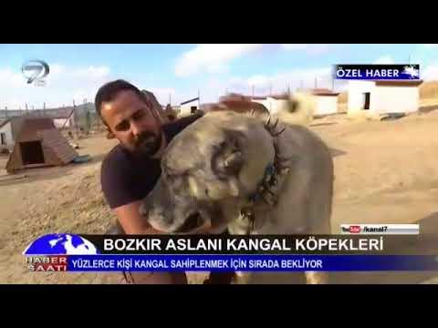 Sivas'ın meşhur kangalları Altın kangal köpek çiftliği ana haberde.