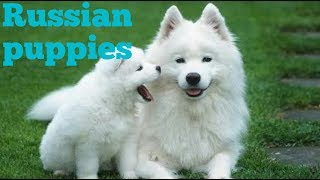 GSD PK    Russian puppies