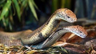 Chuyện lạ có thật - Chuyện dựng tóc gáy về Cặp rắn hổ mây khổng lồ trong rừng U Minh Hạ