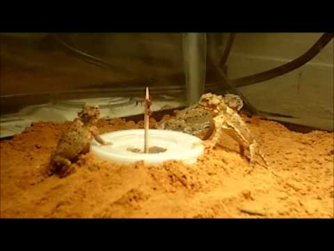 Lizards Eat Ants Horned Lizards Eating From