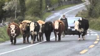 Cork's 96FM - Man Hits Cow