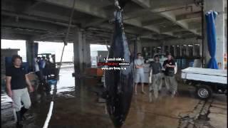 2017年石垣漁港にホンマグロ初水揚げ
