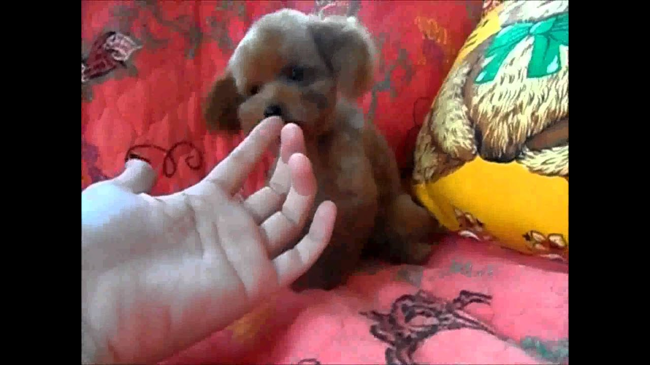 Displaying 20> Images For - Teacup Poodle Brown...