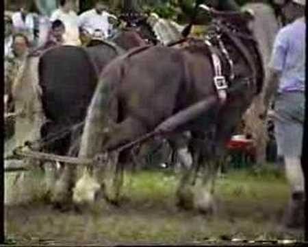 Heavy draft horse pull 1