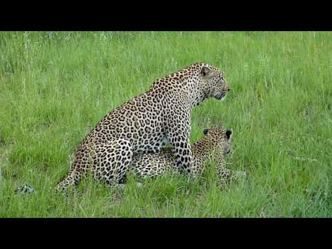 Leopards mating - 03:28