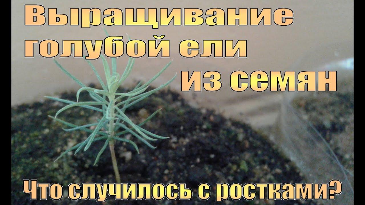Как сажать голубую ель из семян 756