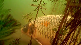 Koï carp fishing in Amiens with Water Wolf and Gopro underwater camera