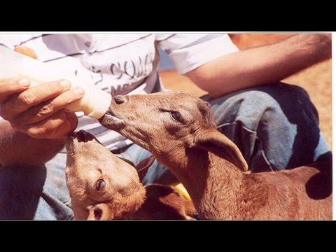 Clique e veja o vídeo Criação de Ovinos de Corte - Manejo Sanitário