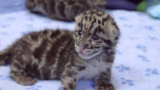 3-week-old clouded leopard cubs