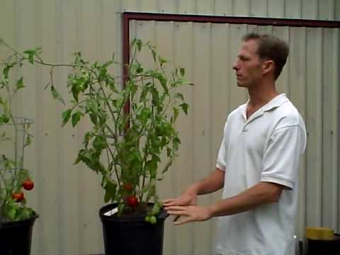 Probiotic Garden - Comparison of tomato plant experiment using compost tea