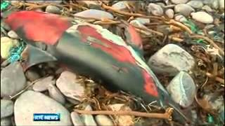Dead Dolphins And Whales Along The Ireland Coast Feb 7th, 2013