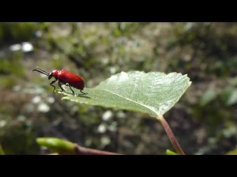 Lily beetle - Lilioceris lilii - Rauð Liljubjalla að þvo sér  4  - Bjöllur
