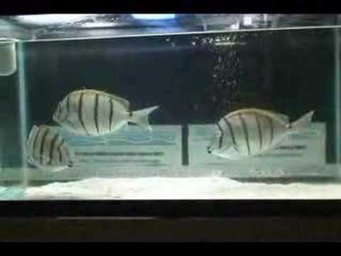 Convict Tang For Sale Convict Tang Huge 2 Mpg