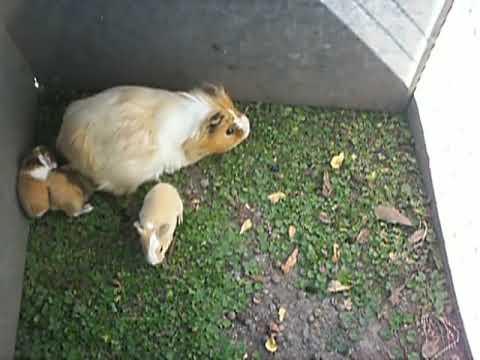 Parte 2 - Cobayos, Chanchitos de la india, Guinea Pigs LA MAMA CUIDA A SUS HIJOS - PARTE 2