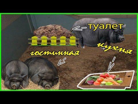 Чистоплотность вьетнамских свиней. Какашки. Выясняем насколько чистоплотны Вьетнамские поросята
