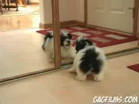 Puppy vs. Mirror Video