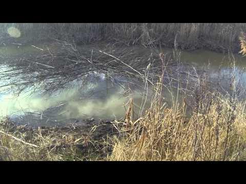 ловить бобра весной