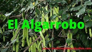 EL ALGARROBO - PROPIEDADES Y BENEFICIOS - LAS PLANTAS CURATIVAS