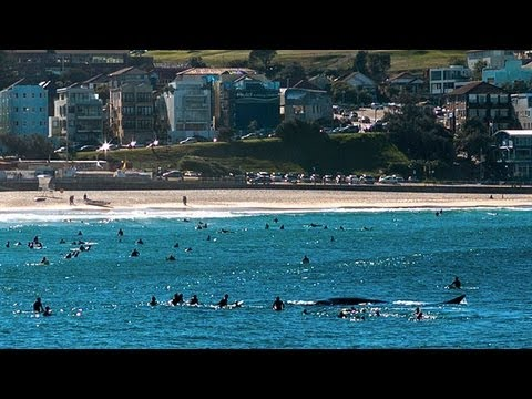 Whale knocks surfer unconscious at Bondi Beach