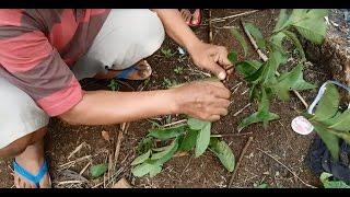 Tips cara membuat perangkap burung, tikus, biawak, musang dll dari ranting pohon