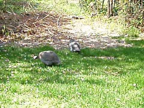 Westhampton Beach Guinea fowl movie Pt. 1