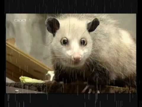 Heidi the opossum - The Trailer