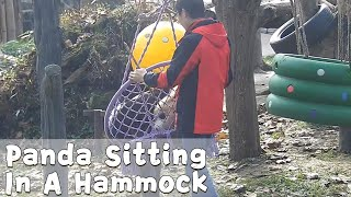 Panda Sitting In A Hammock With Nanny's Help | iPanda