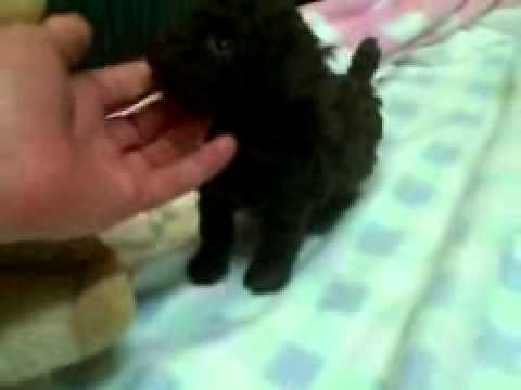 Tiny poodle puppy 5 week
