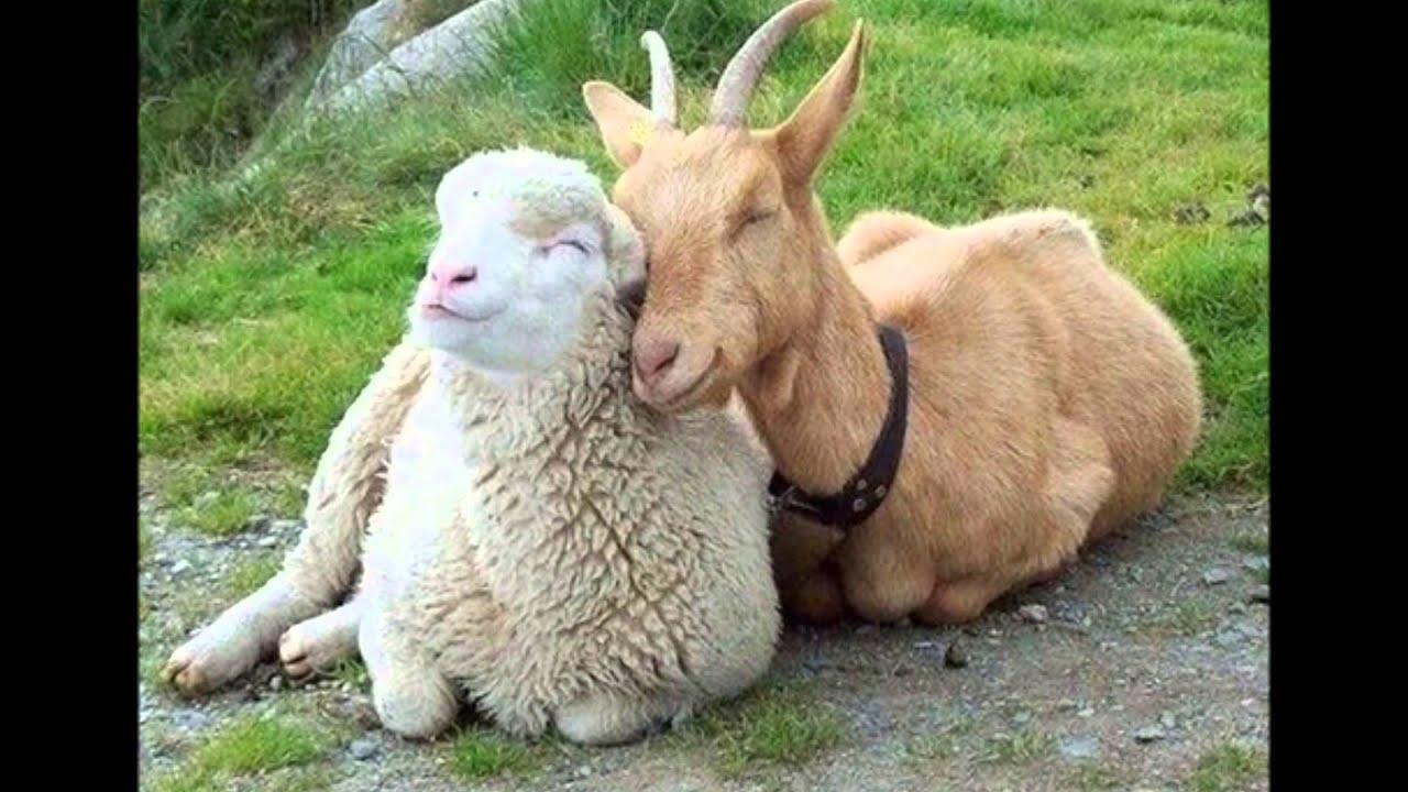 Секс козы с бараном 7 фотография