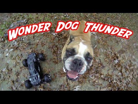 Un Bulldog anglais court après une voiture radiocommandée