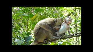 Let me go go,i miss my mom baby monkey hungry breastfeeding