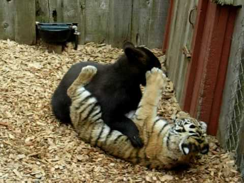 Tigers Eat Bears Tiger And Bear Battle