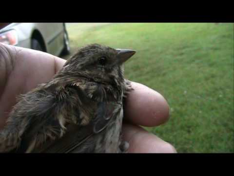 Bird Release : Song Sparrow