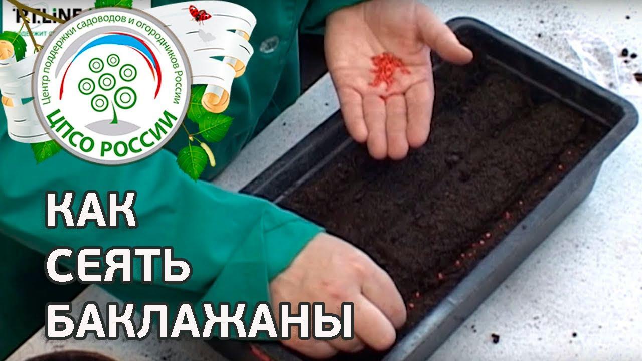 Выращиваем рассаду баклажанов из семян: секреты дачников 42