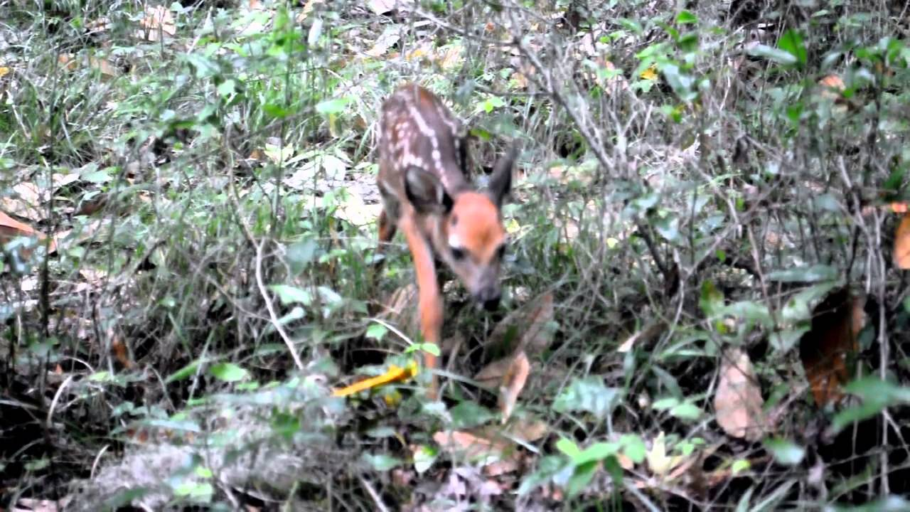 Abandoned Deer Fawn Cries
