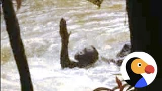 Orangutan Trapped In Rapids Gets Saved | The Dodo