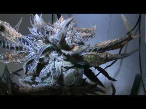 Cannabis Grow - Bubba Kush - Harvest