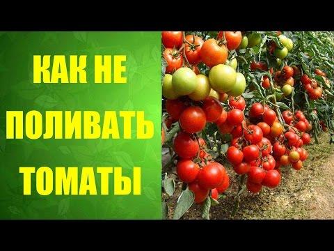 🍅 Как правильно посадить помидоры, чтобы не поливать? #Неполиваемпомидоры