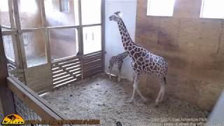 Animal Adventure Giraffe Cam - June 1